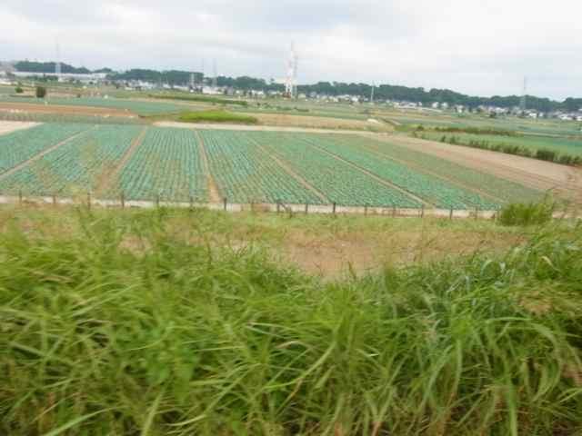 キャベツ畑.jpg