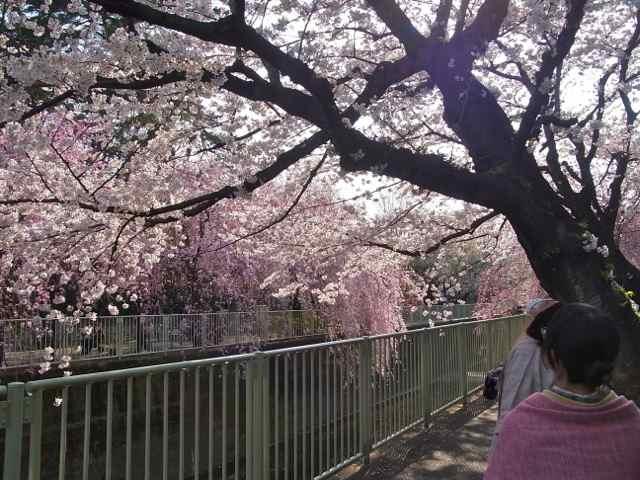 ソメイヨシノも、しだれ桜も!.jpg