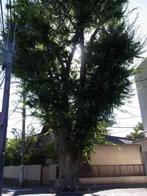 交差点の大樹.jpg