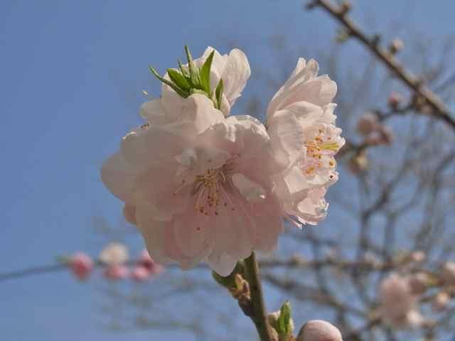 八重桜かな.jpg