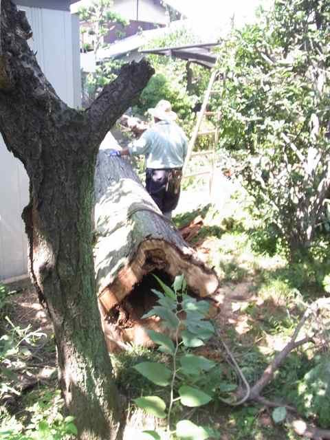 大樹が逝った.jpg