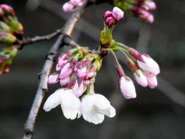 桜の蕾@.jpg
