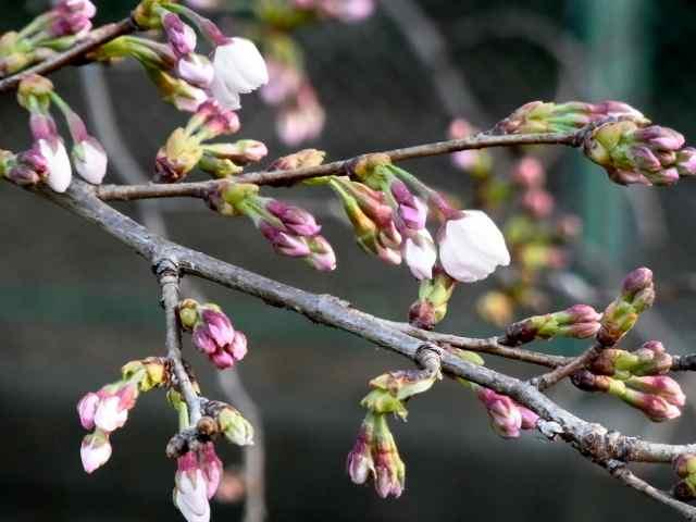 桜の蕾@久我山.jpg