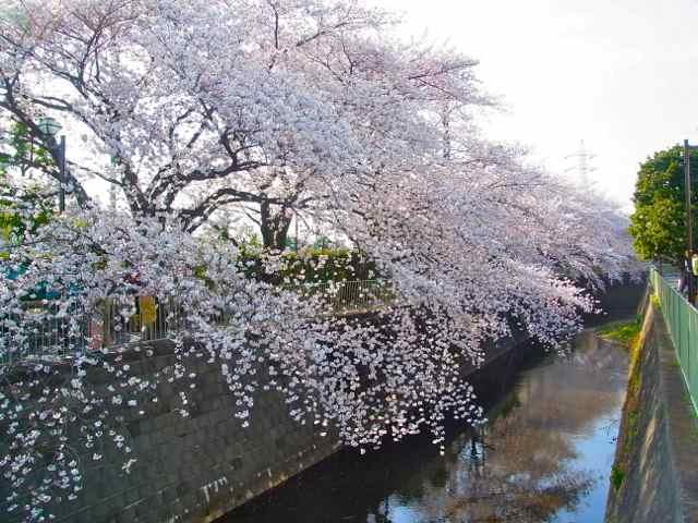 神田川向陽中学そば、8〜9分咲き?.jpg