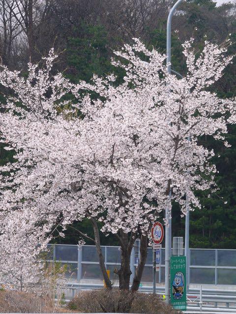 桜が満開。.jpg