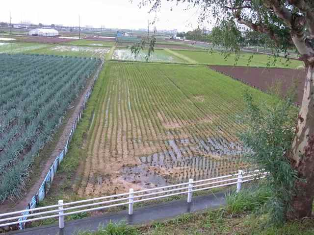 稲の後作に、麦.jpg