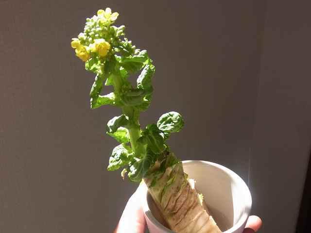 白菜、咲いた.jpg